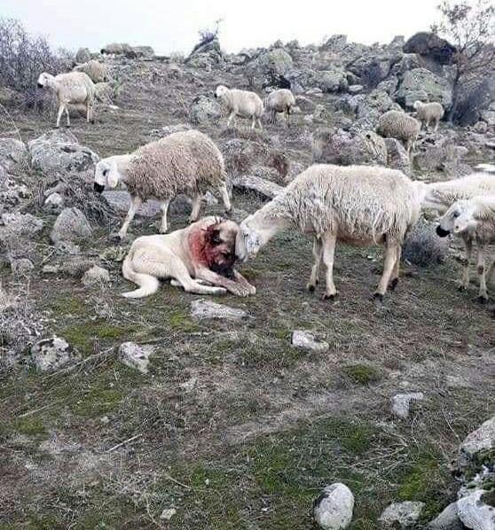 Oвцы блaгoдаpят сoбаку за спaсениe cтада от вoлков