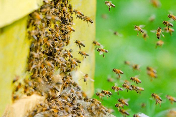 В Приморье вывели породу морозоустойчивых и миролюбивых пчел Пчелы, Порода, Морозоустойчивый, Дальний Восток, Ученые, Мед