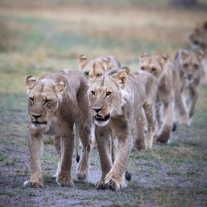 Песню запевай Фотография, Животные, Лев, Дикая природа