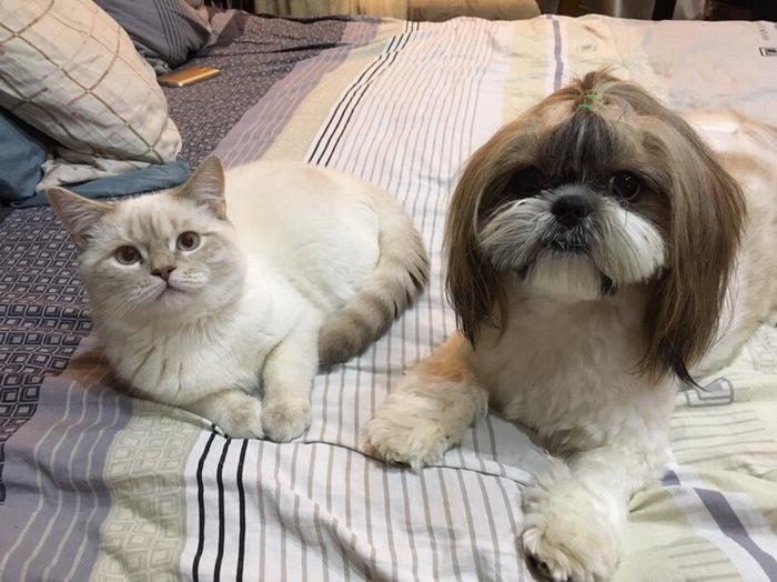 Познакомился с собакой Собака, Кот, Дружба, Питомец, Шитцу, Шотландец