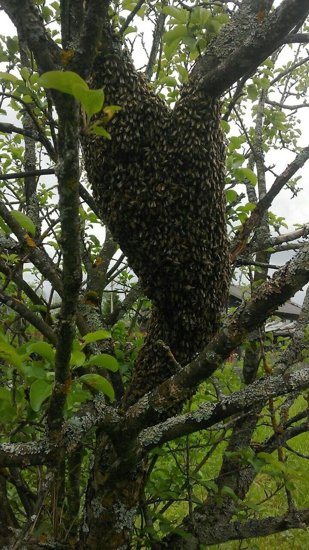 Пчелиный рой севший на яблоню.