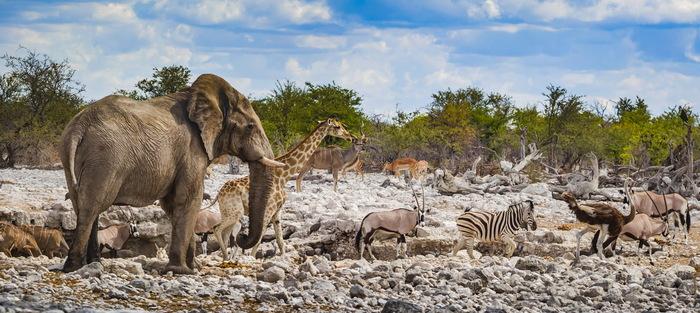 Очередь на водопой The National Geographic, Фотография, Животные, Слоны, Жираф, Зебра