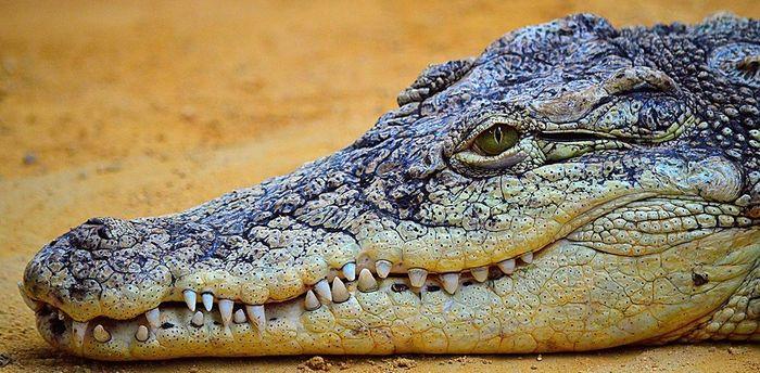 Камни в желудке могут быть спасением для молодых крокодилов Крокодил, Аллигатор, Камнеедение, Эволюция, Естественный отбор