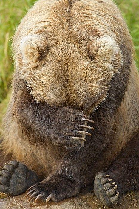 Засмущался косолапый Фотография, Медведь, Смущение