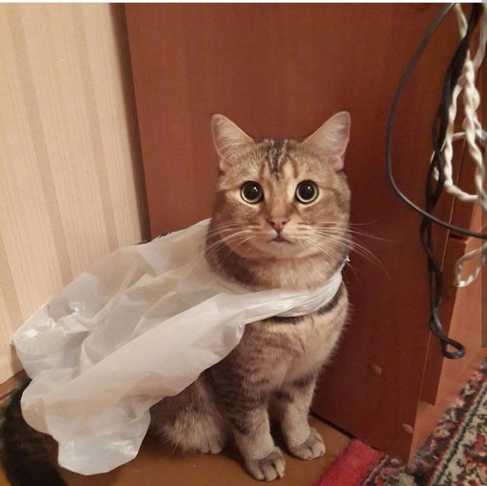 Баська - супергерой. Кот, Супергерои, Британский кот, Пакет