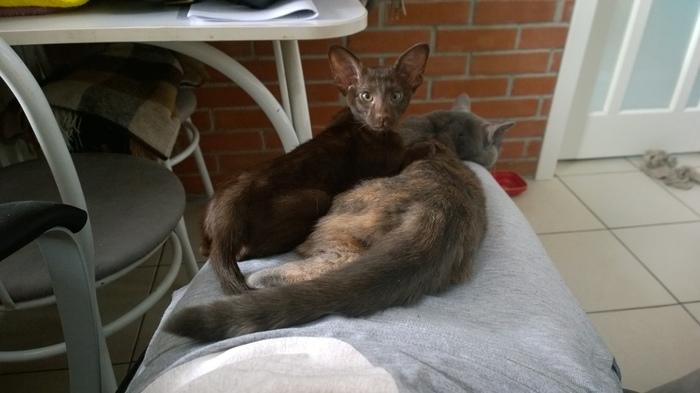 Пазузу Кот, Ориентальные кошки, Длиннопост