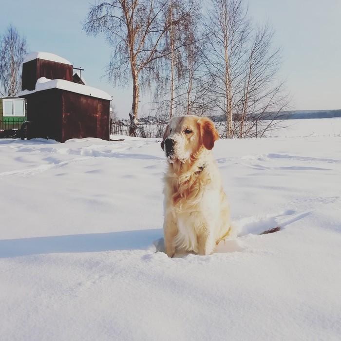 Снежно-золотистый