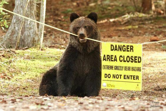 """Медведь:""""Заходите, гости дорогие!"""" Фотография, Медведь, Опасность, Знак, Предупреждение, Животные"""