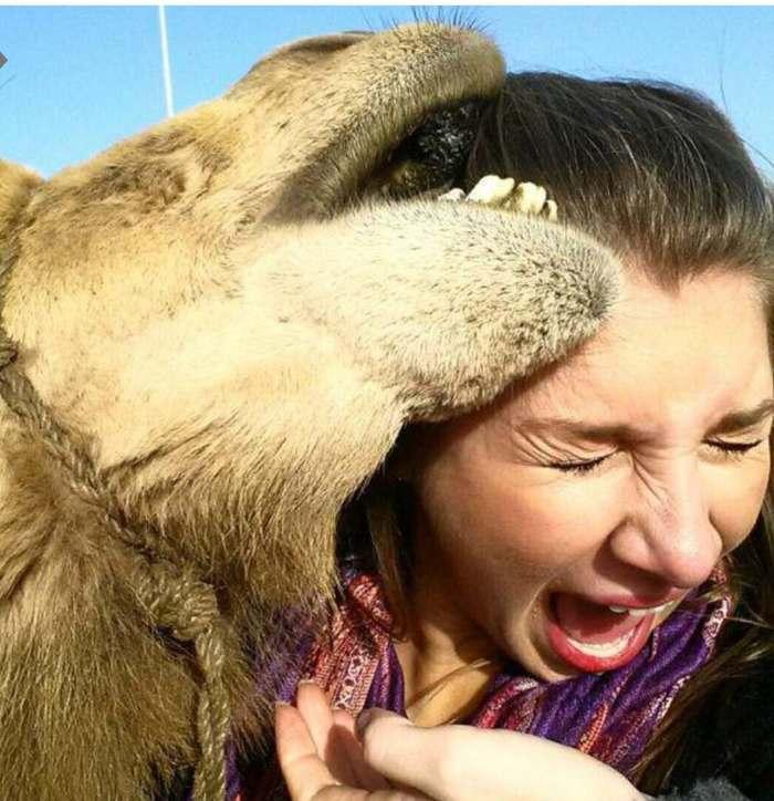 Верблюд в атаке! Верблюды, Укус, Атака, Женщина, Голова, Лицо, Зверь, Злое животное, Гифка, Длиннопост