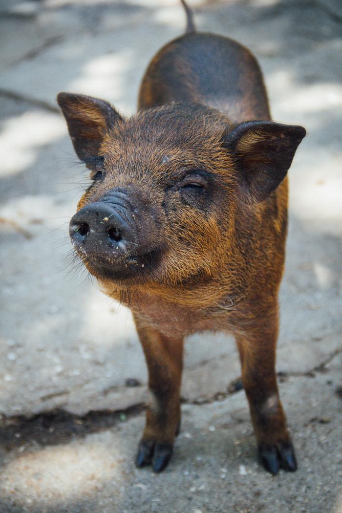 Свинопост Свинья, Милота, Фотография, Животные, Поросята
