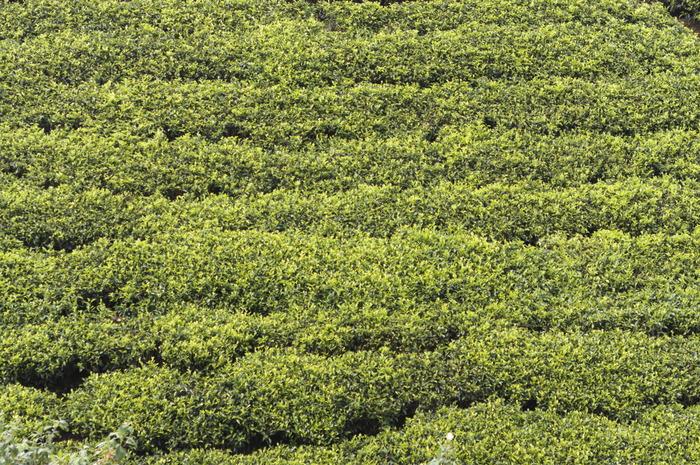 Как производят чай со слоником на Шри-Ланке. Чай, Шри-Ланка, Путешествия, Продукты, Лига путешественников, Длиннопост