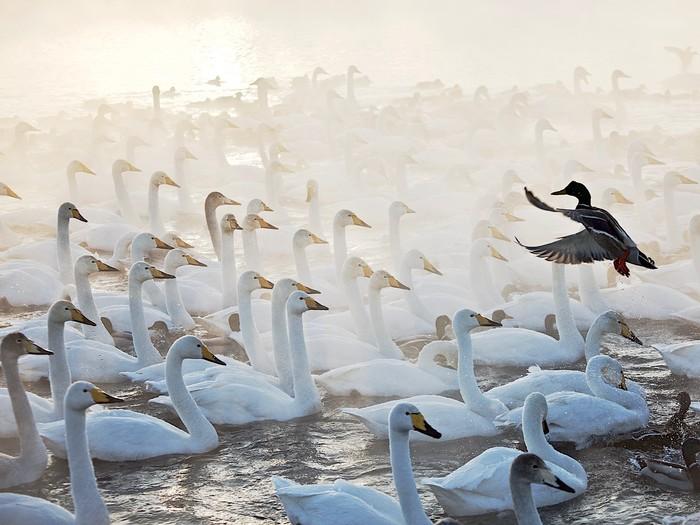 Дирижер Фотография, Птицы, Лебеди, Алтай, Озеро