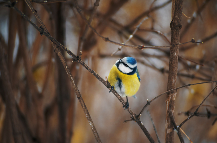 Лазоревки и большие синицы Птицы, Лазоревка, Большая синица, Фотография, Sony alpha, Мануальная оптика, Длиннопост