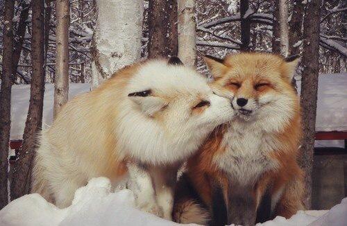 Неожиданный поцелуй ^.^ Лиса, Милота, Животные, Фотография, Фыр