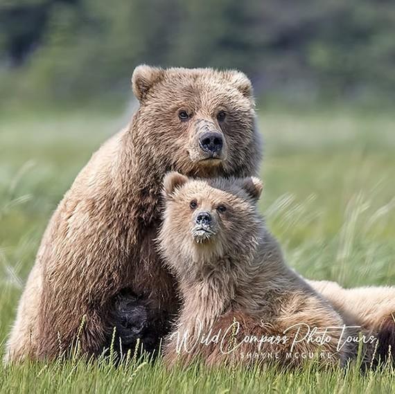 Молоко ещё на губах не обсохло Фотография, Животные, Медведь, Детеныш, Дикая природа