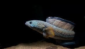 Аквариумные змееголовы: виды, содержание, кормление, разведение. Видео Аквариумные рыбки, Аквариумистика, Видео