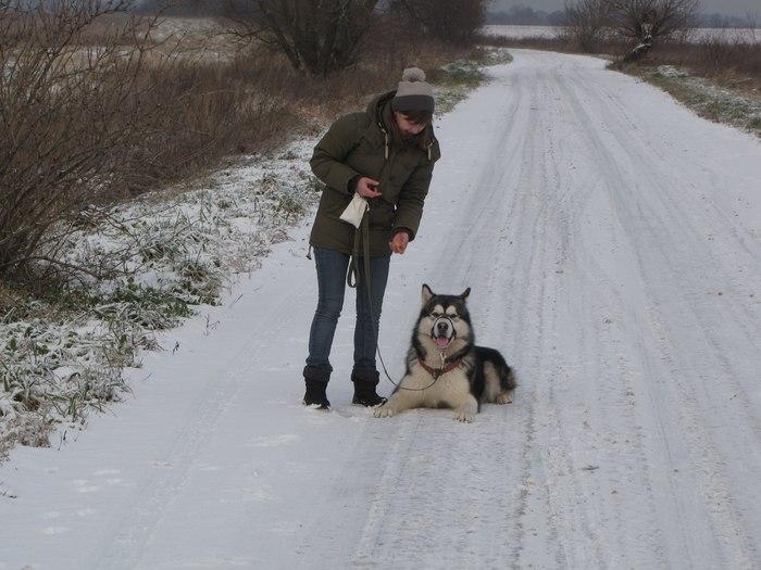 Что хорошего в маламуте? Собака, Аляскинский маламут, Длиннопост
