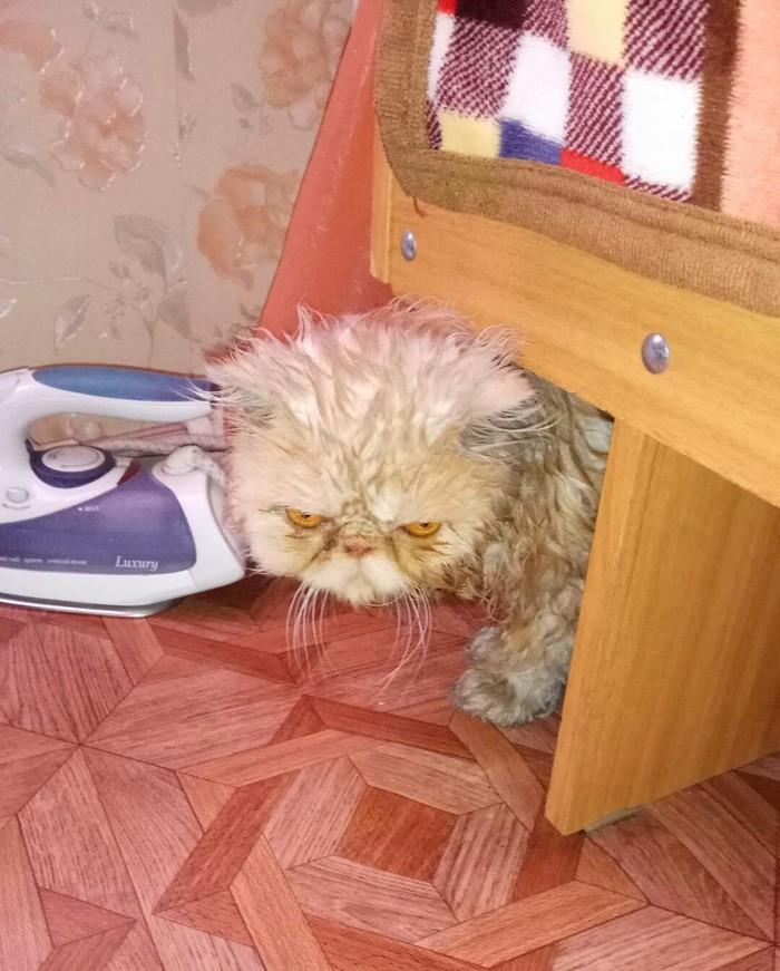 Пытались мыть кота Кот, Милота, Купание, Домашние животные