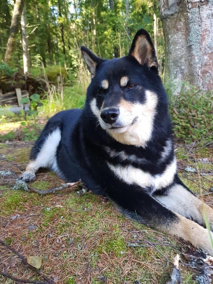Пропала собака, прошу помощи в поиске! Без рейтинга, Пропала собака, Поиск, Помощь, Санкт-Петербург, Девяткино, Мурино, Длиннопост, Собака
