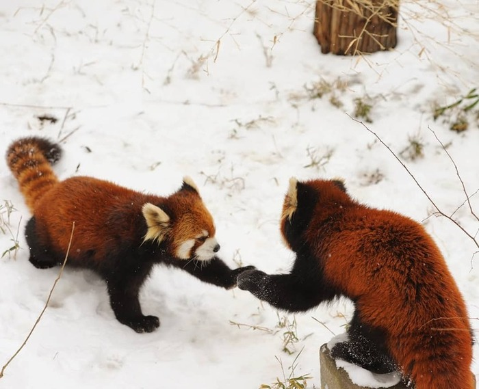 Держи пятулю) The animals, Красная панда, Дай пять