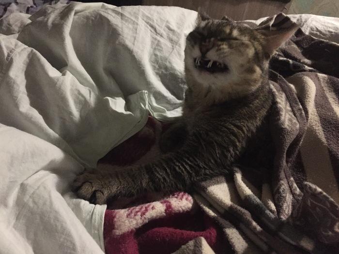 Голливудская улыбка Улыбка, Кот, Домашние животные