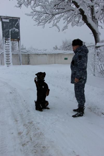 Хороший мальчик Служебные собаки, Команды, Длиннопост, Полиция, Честь, Собака, Ротвейлер