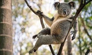 Самая обаятельная и привлекательная... Daily Mail, Риа Новости, Австралия животные, Коала, Сексуальность, Милота