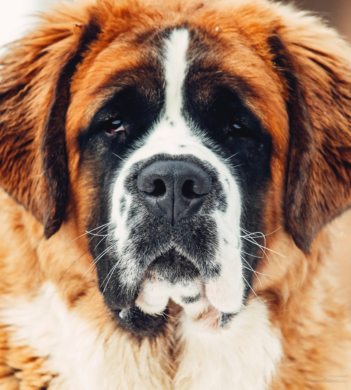 Морда Сенбернар, Собака, Фотография
