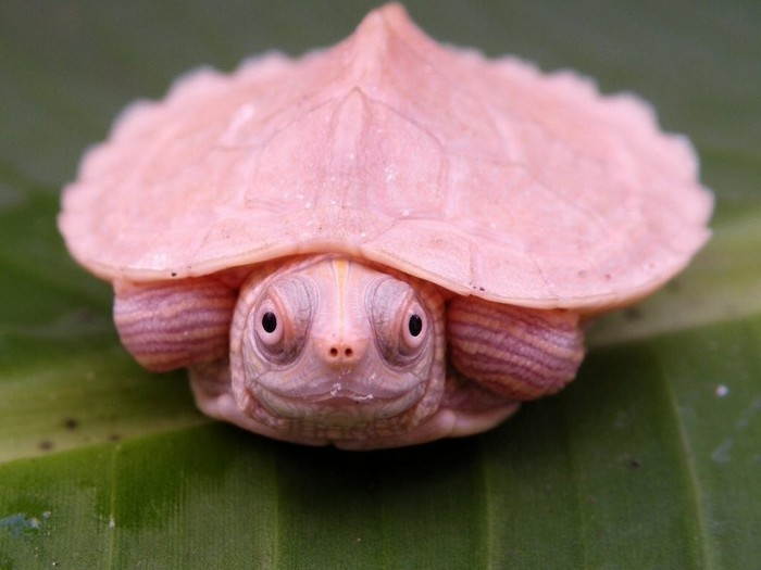 Гламурненько Черепаха, Редкий вид, Розовый, Гламур