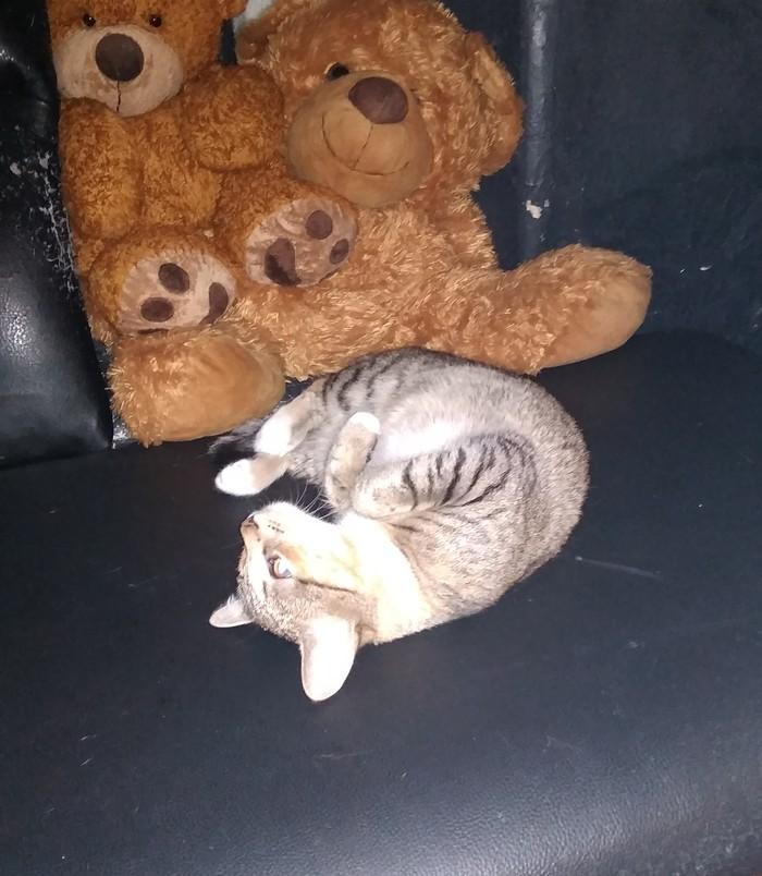 Кошечка ищет дом! Питер В добрые руки, Найден кот, Котомафия, Трехцветная кошка, Длиннопост, Кот, Санкт-Петербург, Без рейтинга
