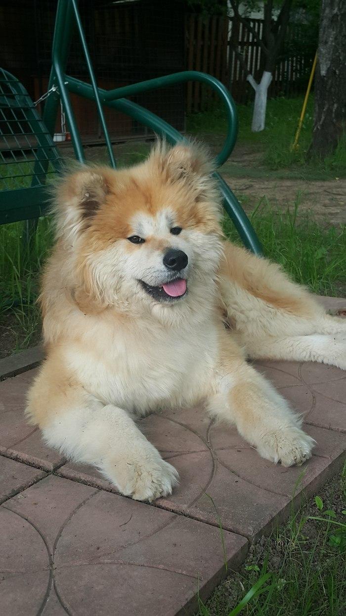 Помогите найти собаку! Пропала собака, Акита ину, Внуково, Изварино, Собака, Помощь, Без рейтинга