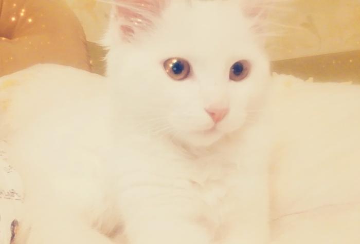 Пикабу помоги!Белый котенок Зевс ищет себе хозяев. Кот, Доброта, Помощь, Москва, В добрые руки, Без рейтинга