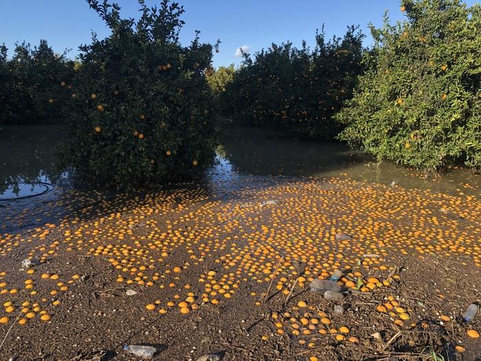 Апельсиновый сад после шторма