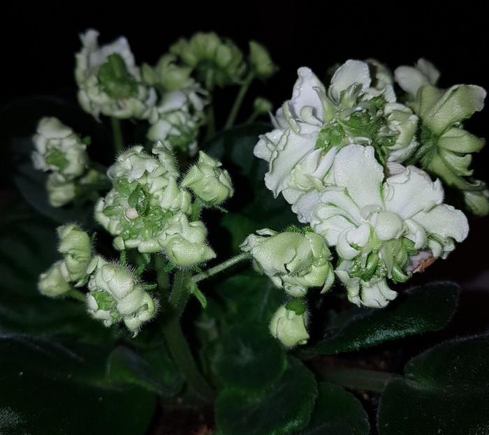 Ну очень необычная фиалка Комнатные растения, Фиалки, Необычное, Длиннопост