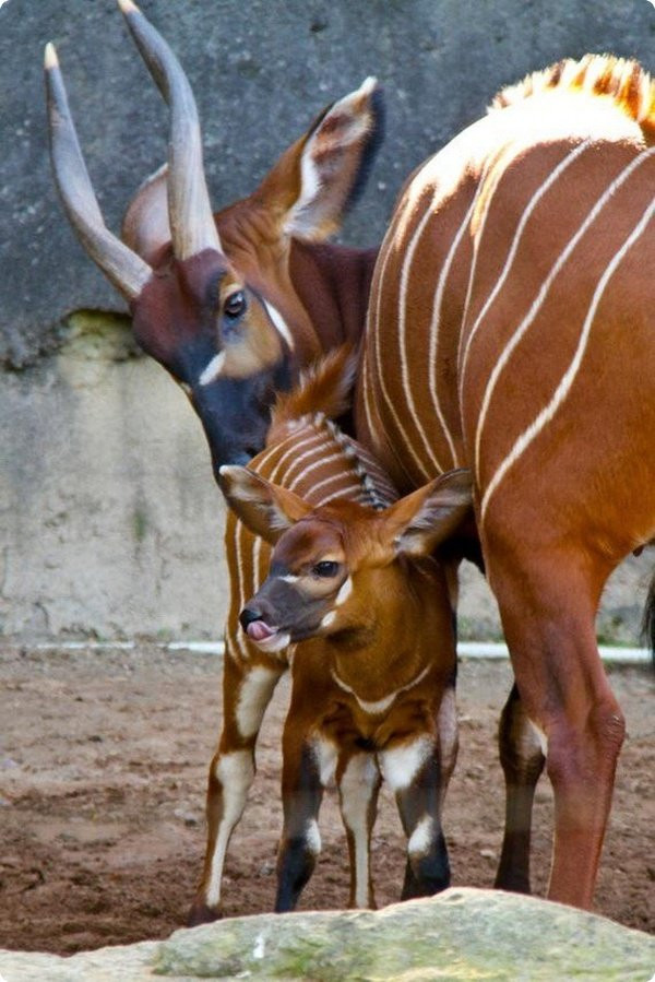 Мама и малыш Родители и дети, Бонго, Милота, Уши, Антилопа, Детеныш, Животные