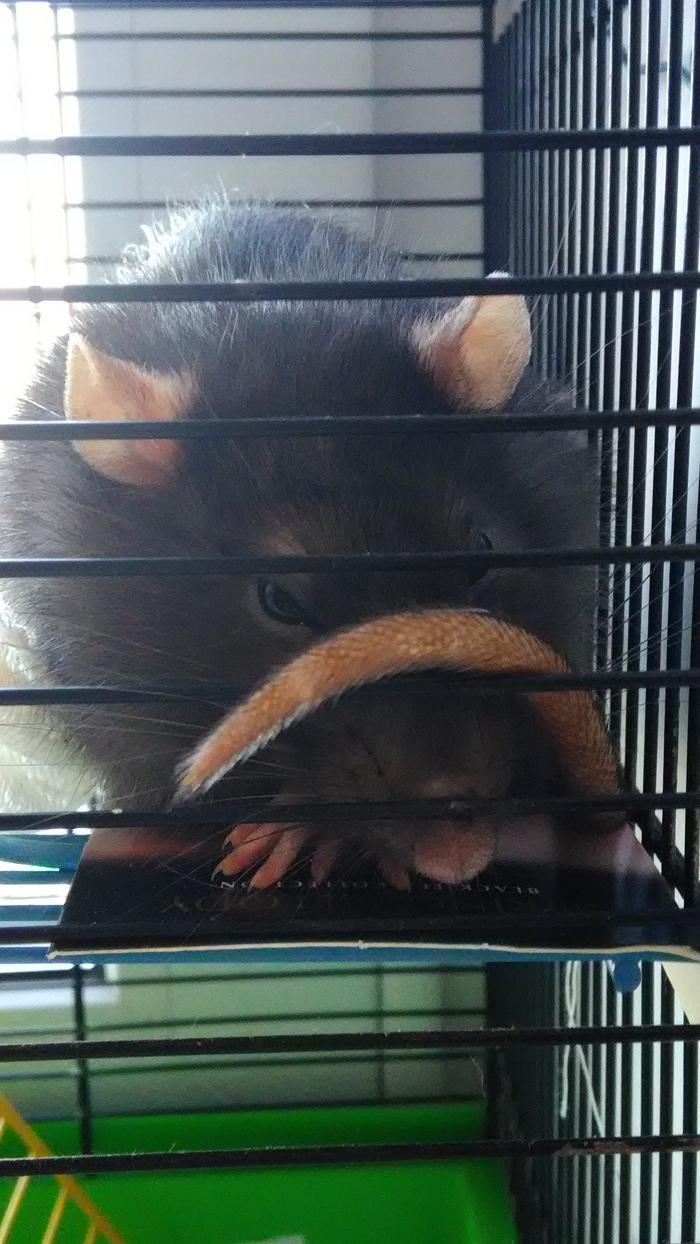 Загадочный крыс Крыса, Клетка, Хвост, Животные, Грызуны