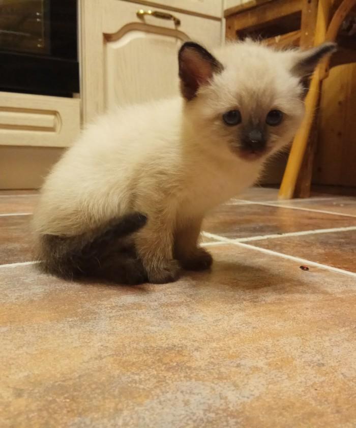 Кошка Йошка Тайская кошка, Кот, Длиннопост, Домашние животные