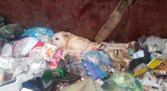 В Сыктывкаре выбросили искалеченного лабрадора в мусорный контейнер. Сыктывкар, Жестокость, Собака, Негатив, Животные