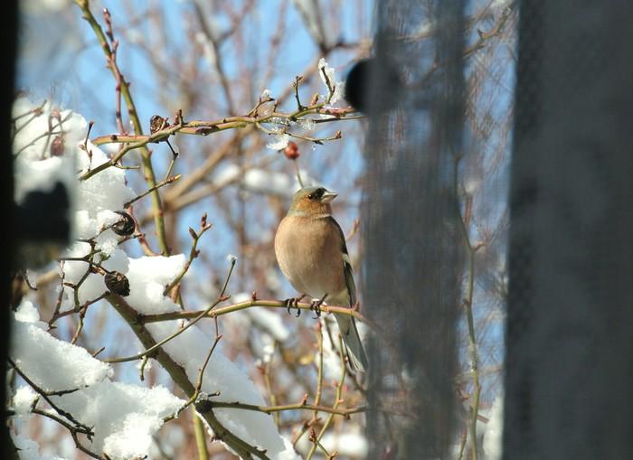 Подсматриваю за зябликами в окно Фотография, Птицы, Зяблик, Наблюдение за птицами, Плохое качество фото, Половой диморфизм