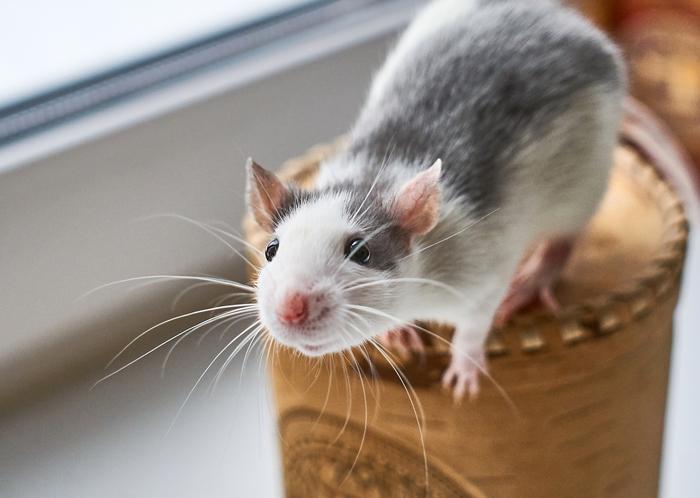 Крыс Крыса, Фотография, Животные