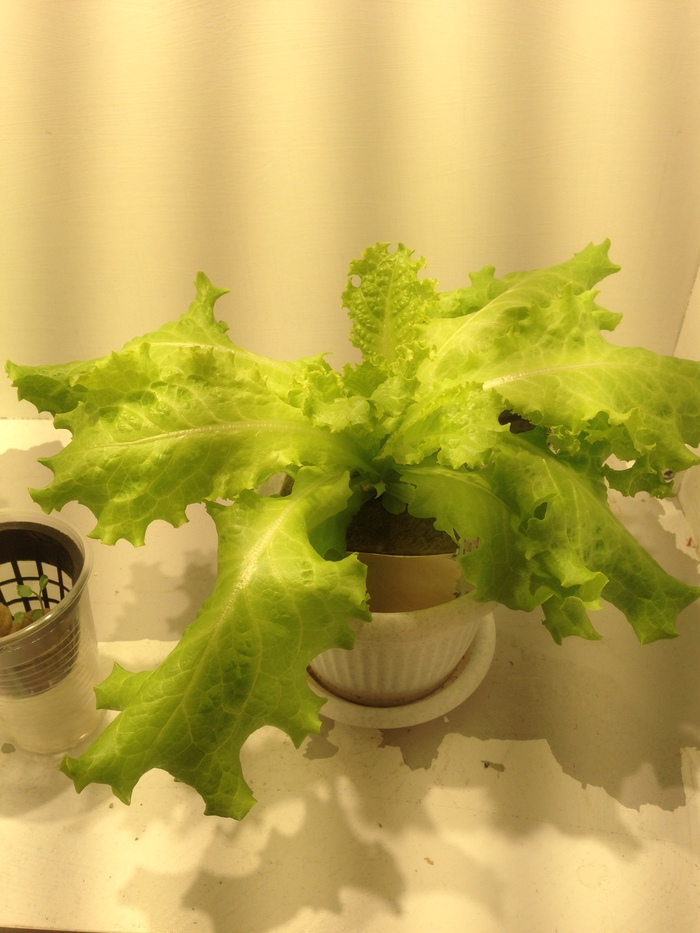 Салат на гидропонике Гидропоника, Прогрессивное растениеводство, Выращивание дома, Длиннопост