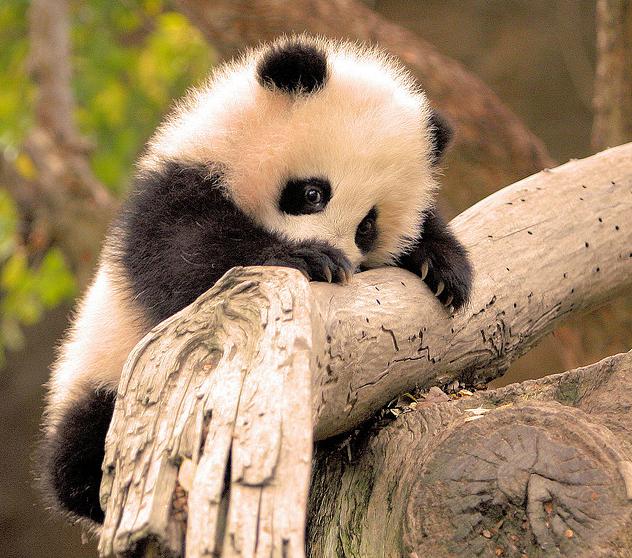 Такие милые панды) Панда, Милота, Длиннопост