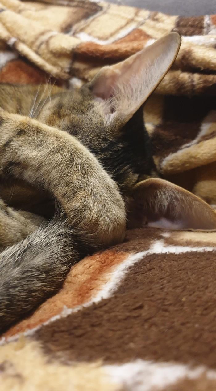 Нет, я не сплю, просто мне стыдно. Кот, Ориентальные кошки, Стыд, Юмор, Домашние животные