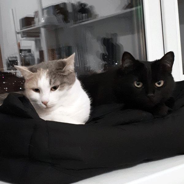 Человек, тебе чего? Кот, Трехцветная кошка, Зевота, Выразительная морда, Гифка