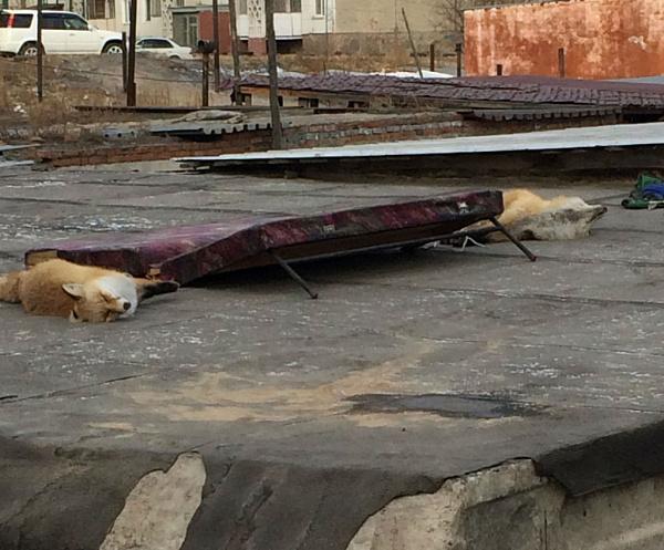 В Улан-Удэ на крыше гаража нашли мёртвых лисицПолная версия: Лиса, Гараж