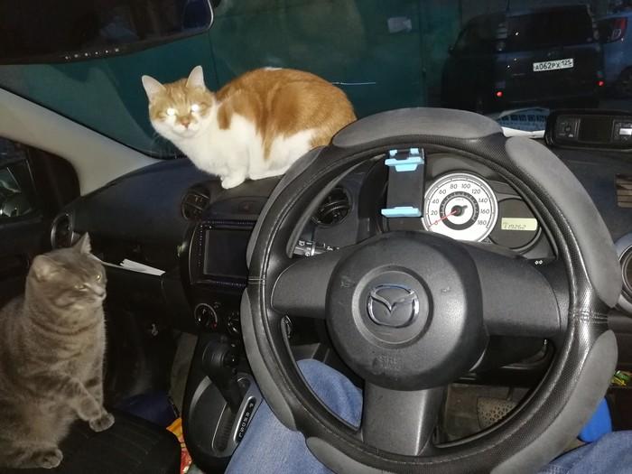 Просто котики в машине Кот, Машина, Торпедо, Домашние животные