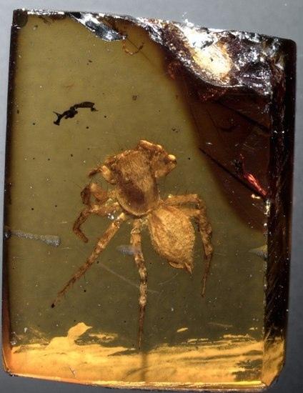 Инклюз паука вида мевия Палеонтология, Паук, Инклюз, Длиннопост