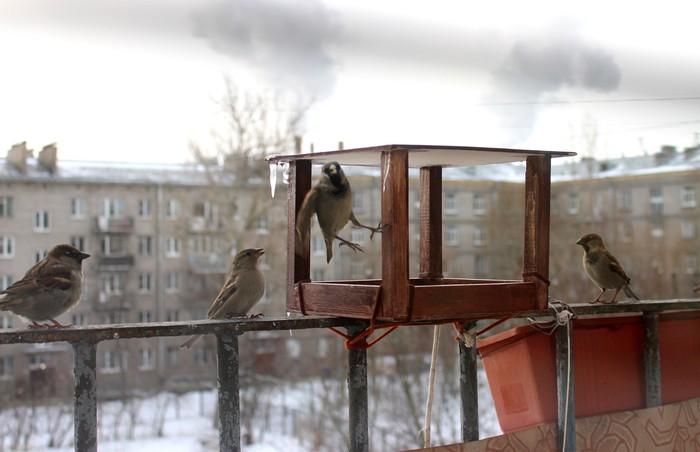 Пернатые Кормушка, Птицы, Воробей, Галка, Длиннопост