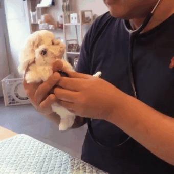 Пациент мужественно проходит первичный медосмотр Собака, Щенки, Ветеринарная клиника, Осмотр, Милота, Стетоскоп, Гифка, Домашние животные