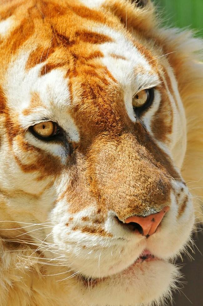 ЗОЛОТОЙ ТИГР Тигр, Животные, Дикие животные, Природа, Чудеса природы, Фотография